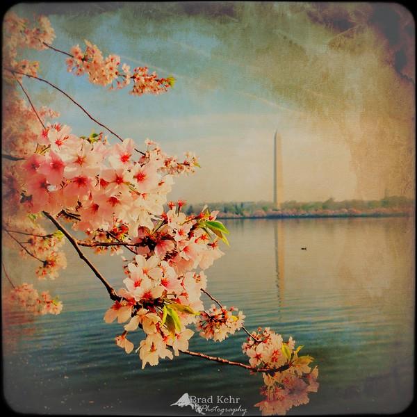 It's Cherry Blossom Week!