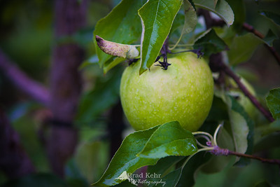 Fall is here and so are all the tradiitons. Nothing like picking apples. Or picking apples in the rain - hence the rich colors and wet leaves.