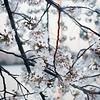 Cherry Blossoms and the Washington Monument - Washington, DC