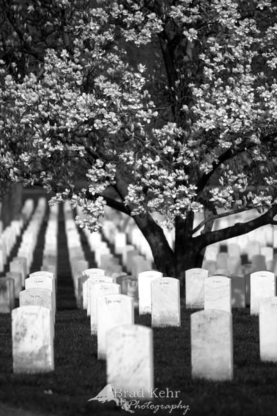 A Tree Grows in Arlington. Gravestones rest under the branches of a tree in Arlington National Cemetery - Arlington, Virginia.