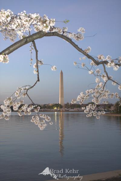 Washington Monument during the Cherry Blossoms - Tidal Basin, Washington, DC.