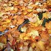 Autumn Leaves - Oregon.