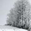 Aspens in the Snow - Montana.