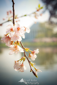 Cherry Blossoms in front of the Jefferson Memorial.  Was fortunate to catch them at peak bloom.