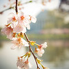 Cherry Blossoms in front of the Jefferson Memorial.<br /> <br /> Was fortunate to catch them at peak bloom.