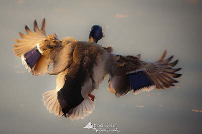 A duck, startled at the Cherry Blossom Festival, takes flight in the morning light - Washington, DC.