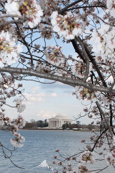 Cherry Blossoms - Jefferson Memorial and the Tidal Basin - Washington, DC