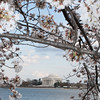 Cherry Blossoms - Jefferson Memorial and the Tidal Basin - Washington, DC