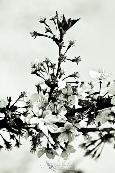 """Cherry Blossoms in black and white.<br /> <br /> The colors were incredible (you can find the color version here: <a href=""""http://www.bradkehrphotography.com/Travel/Washington-DC/Cherry-Blossoms-2012/22076531_sjqBDG#!i=1761841247&k=4JXHthJ"""">http://www.bradkehrphotography.com/Travel/Washington-DC/Cherry-Blossoms-2012/22076531_sjqBDG#!i=1761841247&k=4JXHthJ</a> ) but the Black and White just popped!"""