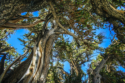Bristlecone Pines on White Mountain, Eastern California