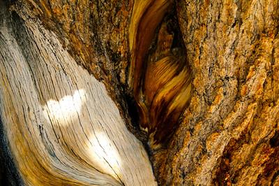 Bristlecone Pines on White Mountain, Eastern California