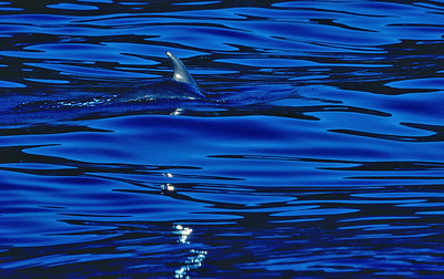 Pilot Whale of Santa Catalina Island, CA