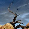 Dead Tree  ( Hartman Rocks , Gunnison, 3.24.2012  10h00am )