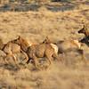Elks at sunrise .22 april 6h45 am (Secret spot 2 )
