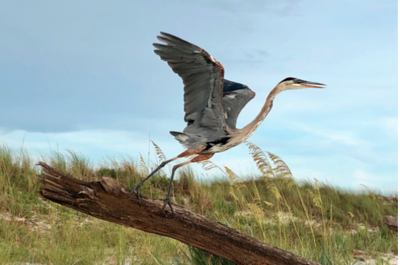 Heron Takes Flight