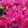 """The azaleas are popping,"" writes Gwen  Foley."