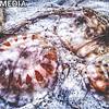 Jellyfish beached at Perdido Pass