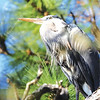 Great Blue Heron in our yard
