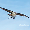 Osprey At period Pass