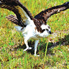 """""""I caught this angry osprey on a birding trip to Dauphin Island,'' writes Louise Hawley. """"Surprisingly, it stayed put long enough for a few photos.''"""