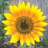 Sun Flower by Danny Earl.
