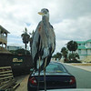 Robert Verrilli of Perdido Key found this heron camping out on the hood of his truck.