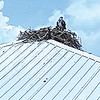 Joe Phillips shares a picture of an osprey literally making itself at home in a nest on top of a boat house on Old River.