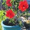 Sherry Byrd shares picture of her hibiscus bush.