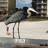 Blue Heron on pier at Four Seasons of Romar Beach in Orange Beach.