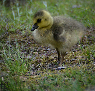 Newly hatched gosling