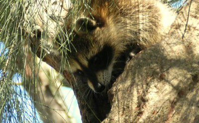 Mamma Raccoon Rescues Baby