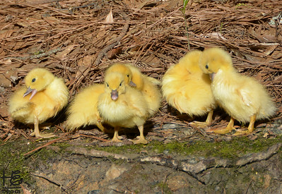 04-09-14 A group shot of the new duckling brood - love the determined look of the one in front!