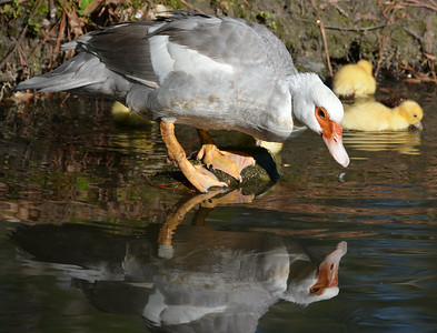 04-09-14 I love the lmost perfect reflection of Mamma Duck.  An added bonus are two of the ducklings in the background.