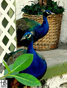 A lovely peacock disovery