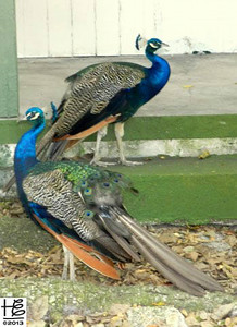 Two peacocks in reverse profile