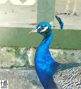 Peacock in profile