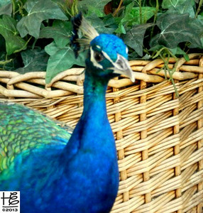 Close-up of peacock by basket