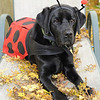 "October 31 2009 The embarrassment Year 7. Each year my dogs get dressed up for Halloween.  This year Java is a lady bug and Moki is frog (an uncooperative one at that). <br /> Happy Halloween!<br /> <br /> Link to the boys from last year<br /> <br /> <a href=""http://joanteno.smugmug.com/Pets/Just-My-Black-Labs/The-Embarrassment-Year-6-vs/698486904_L4dy3-M.jpg"">http://joanteno.smugmug.com/Pets/Just-My-Black-Labs/The-Embarrassment-Year-6-vs/698486904_L4dy3-M.jpg</a>"