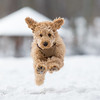 Poodle puppy is jumping in the snow