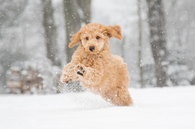Poodle snow fun