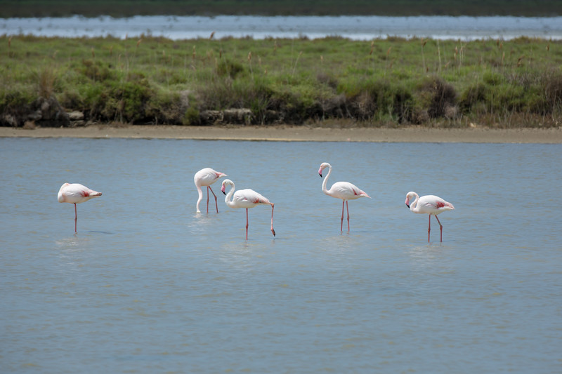Greater Flamingos in the Camargue