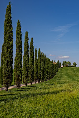 Rural road lined with cypress trees