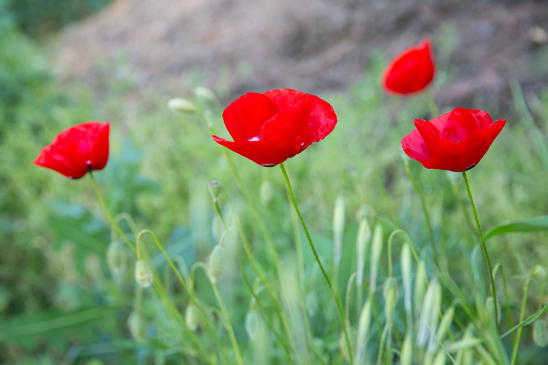 Red poppy Flowers in the spring.
