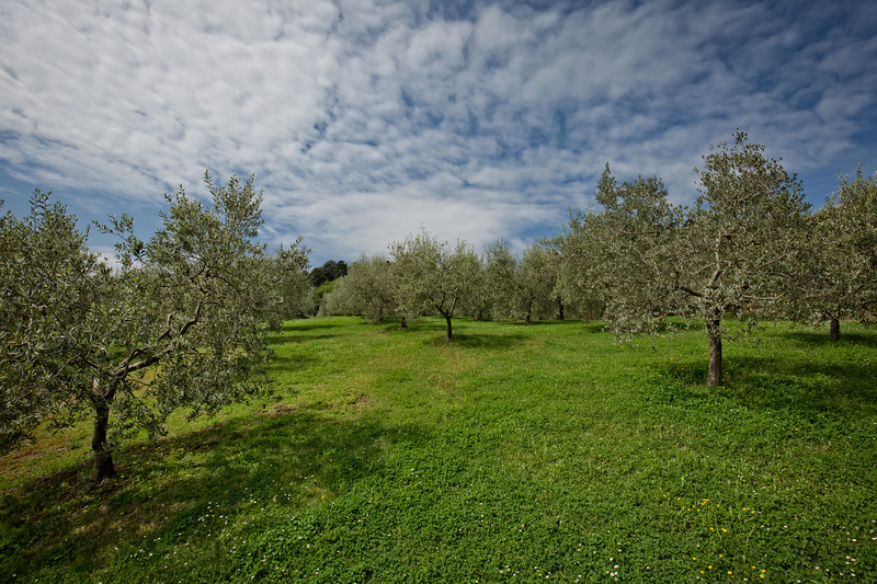 Olive trees at the garden near Montepulciano.
