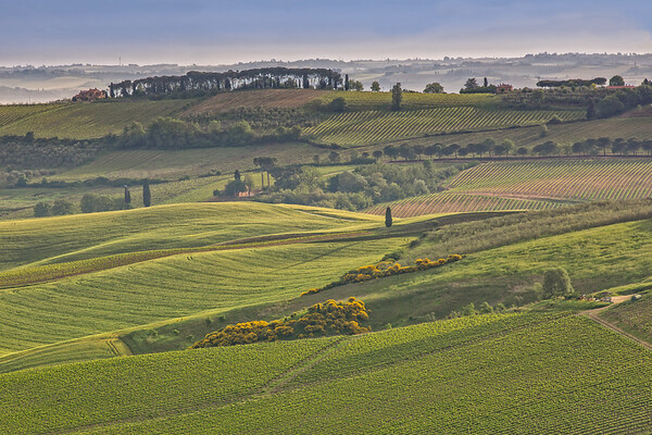 The rolling hills and green fields at sunrise in Tuscany
