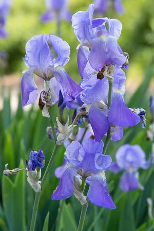 Iris cycloglossa