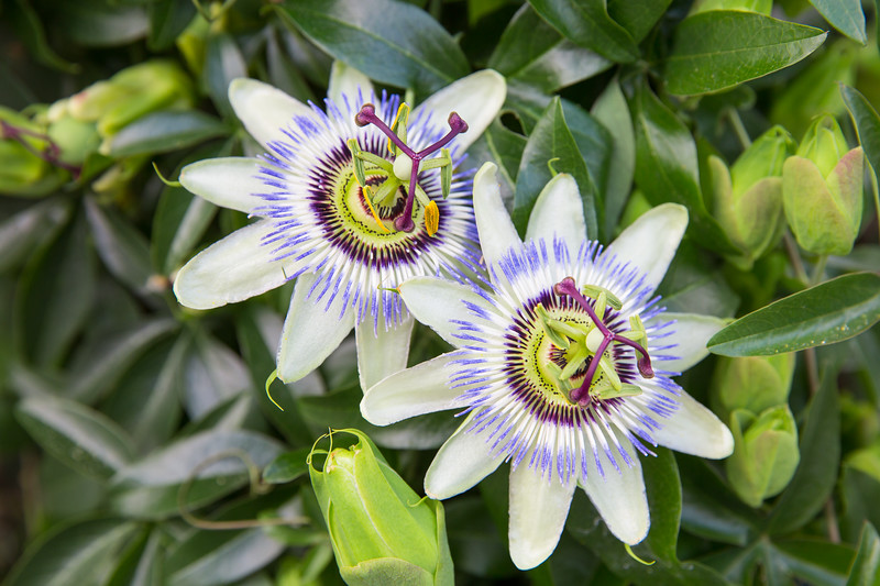 Exotic Beauty- Passiflora caerulea