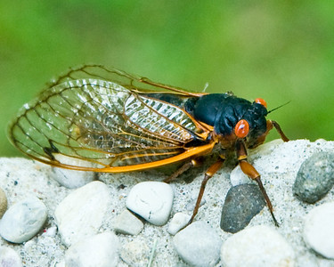 Summer of 2007 was defined by the 17 year cicadas. They are ugly and noisy.