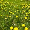 Spring, again. Dandelions. Weeds, Allergens, or Flowers?