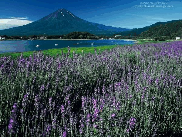 Lavender at the Foot of the Mountain